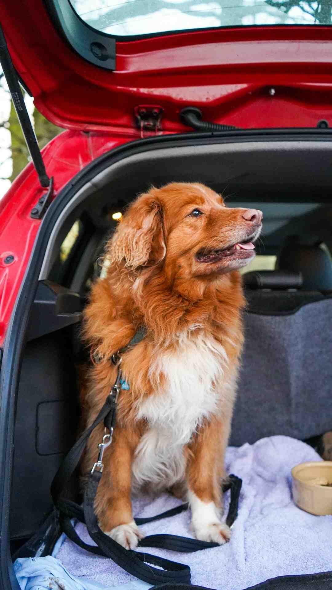 Comment transporter chien en voiture